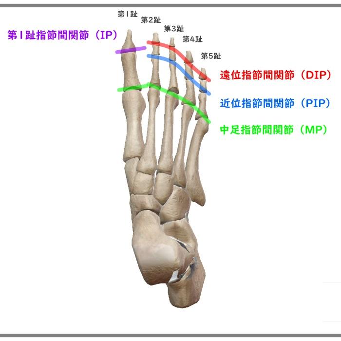 足の指の正式名称