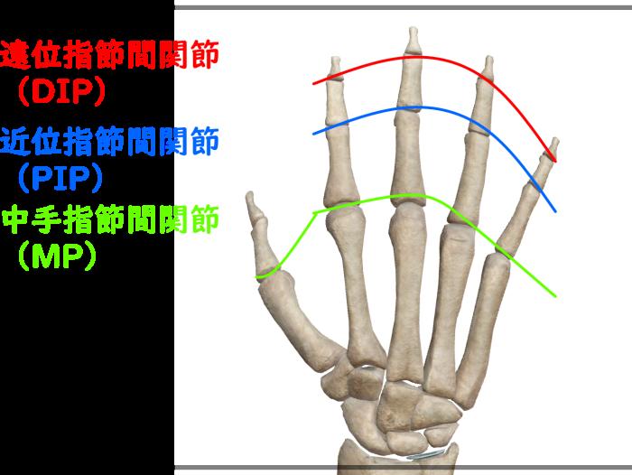 手の指の関節 正式名称